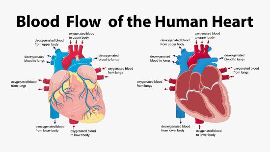 Heart Valvular Diseases
